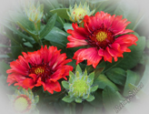 Gaillardia aristata Arizona Red Shades - Kokarda osinatá