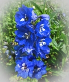 Delphinium hybrids Pacific 'Blue Bird'