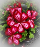 Pelargonium peltatum 'Happy Face Mex'