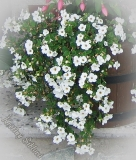 Bacopa 'Taifun Epic White'
