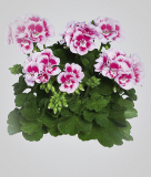 Pelargonium zonale 'Flower Fairy White Splasch'
