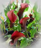 Zantedeschia ´Majestic Red´