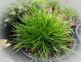 Festuca scoparia