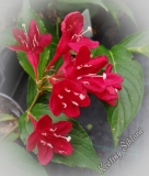 Weigela florida 'Eva Rathke'