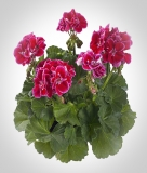 Pelargonium zonale 'Spanish Wine Burgundy'
