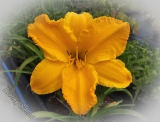 Hemerocallis 'Golden Tycoon'