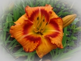 Hemerocallis 'All Fired Up'