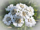 Achillea ptarmica 'Pearl Reselected'