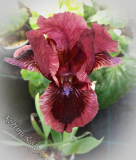 Iris 'Cat's Eye' (SDB)