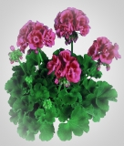 Pelargonium zonale 'Flower Fairy Berry'