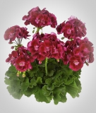 Pelargonium zonale 'Flower Fairy Velvet'