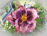 Hemerocallis 'Macbeth'