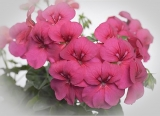 Pelargonium peltatum 'Happy Face Purple'