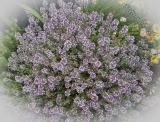 Thymus citriodorus 'Silver Queen'