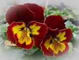 Viola x wittrockiana 'Joker Red-Gold'
