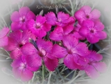 Dianthus 'Whatfield Magenta'
