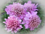 Scabiosa japonica 'Pink Diamonds'