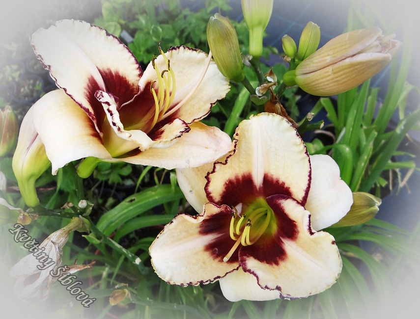 Hemerocallis 'Dream Legacy'