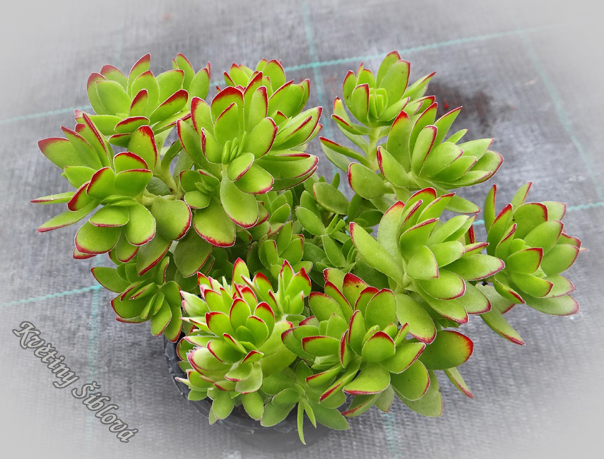 Crassula dejecta