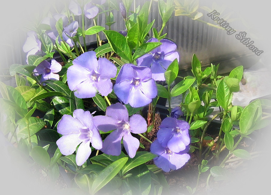 Vinca minor 'Bowles Variety'