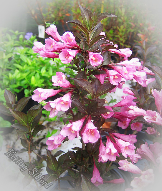 okrasn ke e weigela florida 39 nana purpurea 39 kv tiny blov. Black Bedroom Furniture Sets. Home Design Ideas