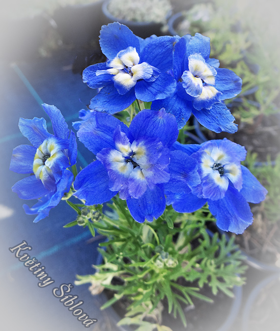 Delphinium grandiflorum 'Summer Cloud'