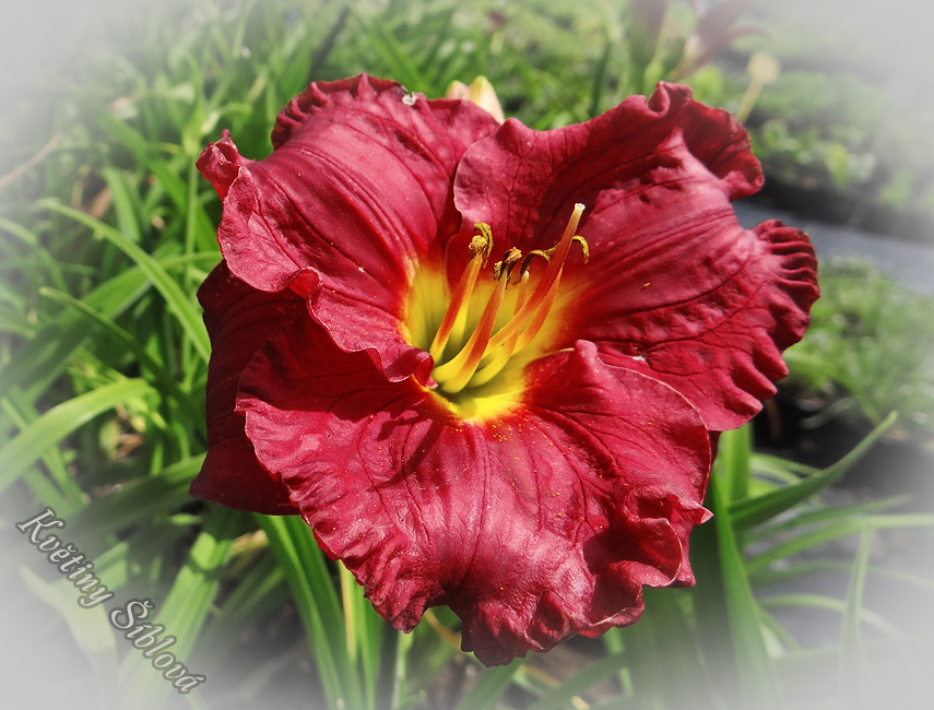 Hemerocallis 'Siloam Paul Watts'