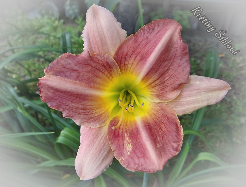 Hemerocallis 'Final Touch'