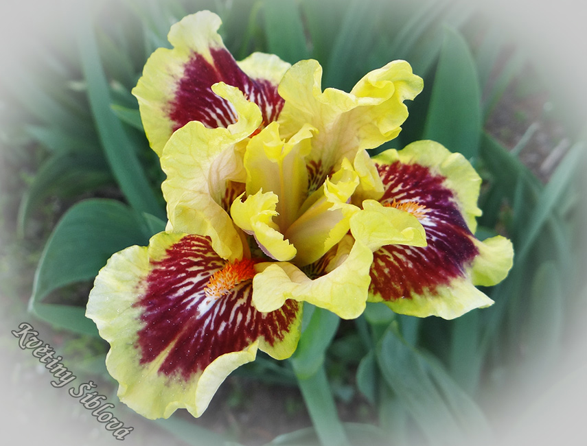 Iris 'Eye Of The Tiger' (SDB)