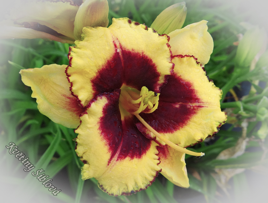 Hemerocallis 'Eye On America'