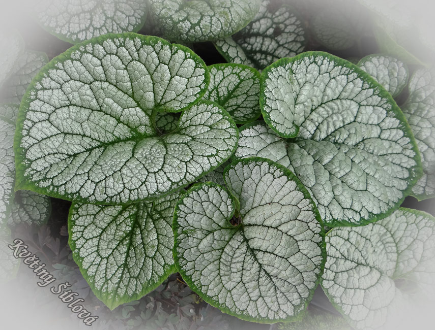 Brunnera macrophylla 'Sea Heart'